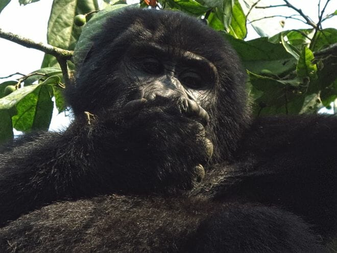 Berggorilla Profil
