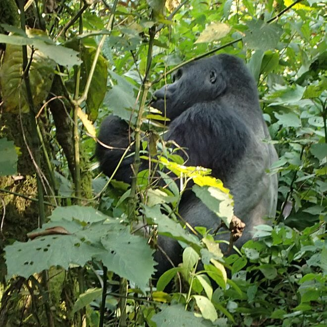 21500bd83bf61 Bei den Berggorillas in Uganda - Hier Da Dort