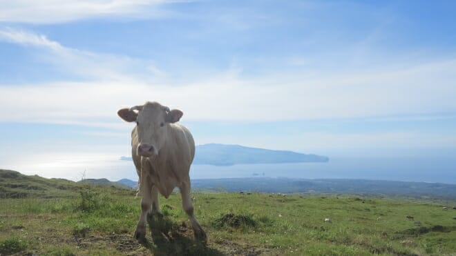 Kuh auf Pico auf dem Weg zum Gipfel, im Hintergrund Faial