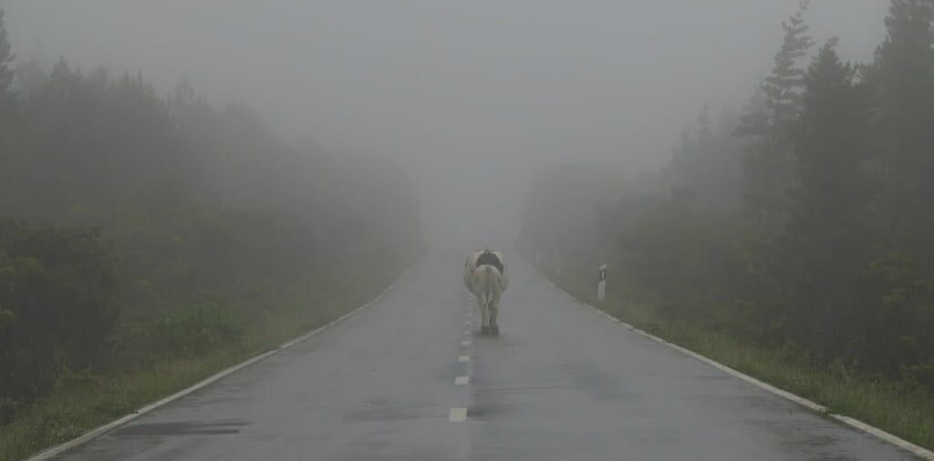 Kuh im Azorennebel