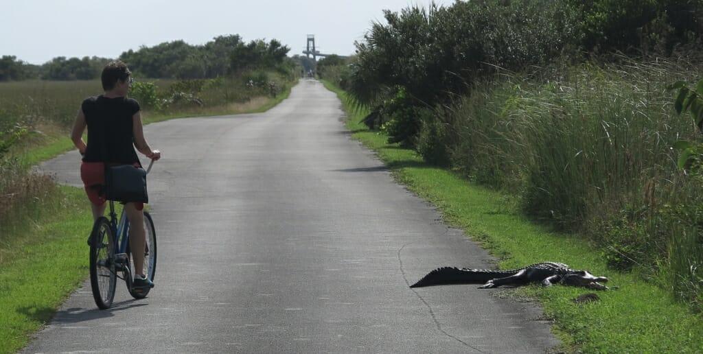 Alligatoren in den Everglades