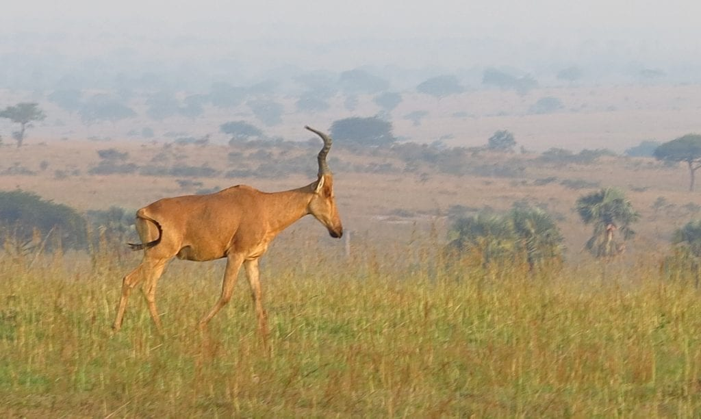 Antilope im Murchison Falls National Park in Uganda