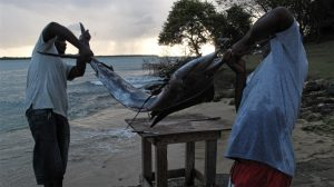 Ein Schwertfisch wird an Land gebracht Tobago