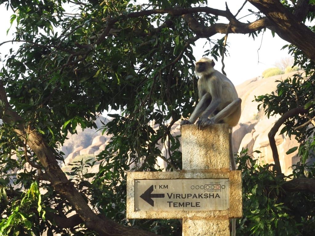 Affe in Hampi in Indien