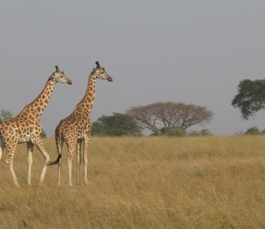Giraffen im Murchison Falls National Park in Uganda